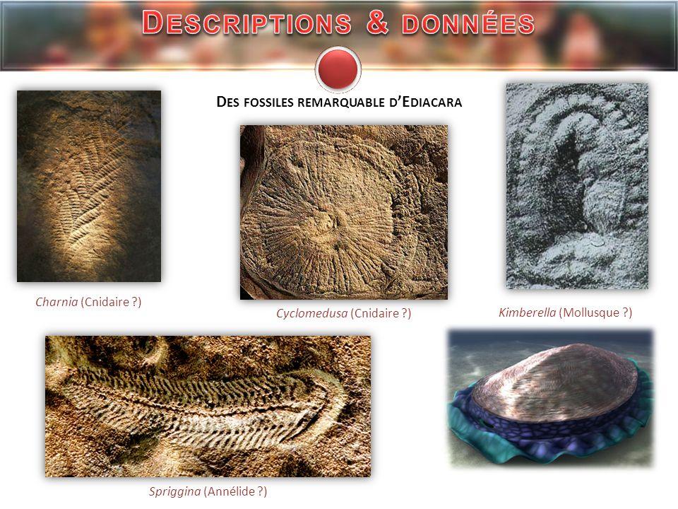 http://www.museum.toulouse.fr/explorer_3/museum_histoire_naturelle_17/affronter_immensite_190/ http://www.cnrs.fr/cw/dossiers/dosevol/decouv/articles/chap2/alvaro.html http://www.nature.com/nature/journal/v393/n6685/abs/393567a0.html http://palaeontology.palass-pubs.org/pdf/Vol%209/Pages%20599-628.pdf http://www.annualreviews.org/doi/abs/10.1146/annurev.earth.33.092203.122519 http://en.wikipedia.org/wiki/Kimberella http://evolution.biologique.free.fr/histoire/pluricel/ediacara2.htm S ITE I NTERNET