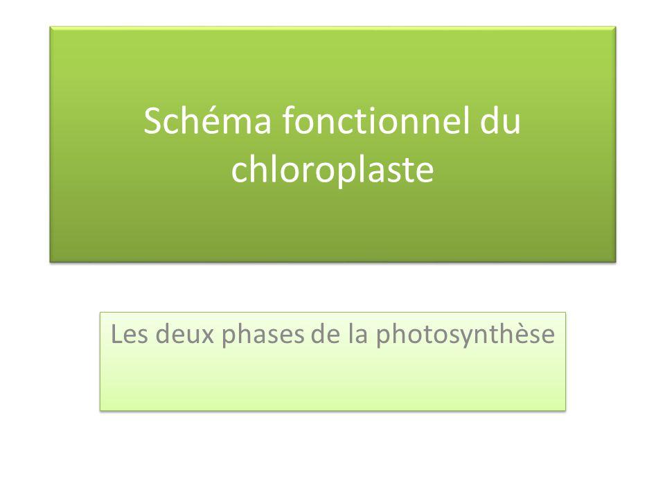 Schéma fonctionnel du chloroplaste Les deux phases de la photosynthèse