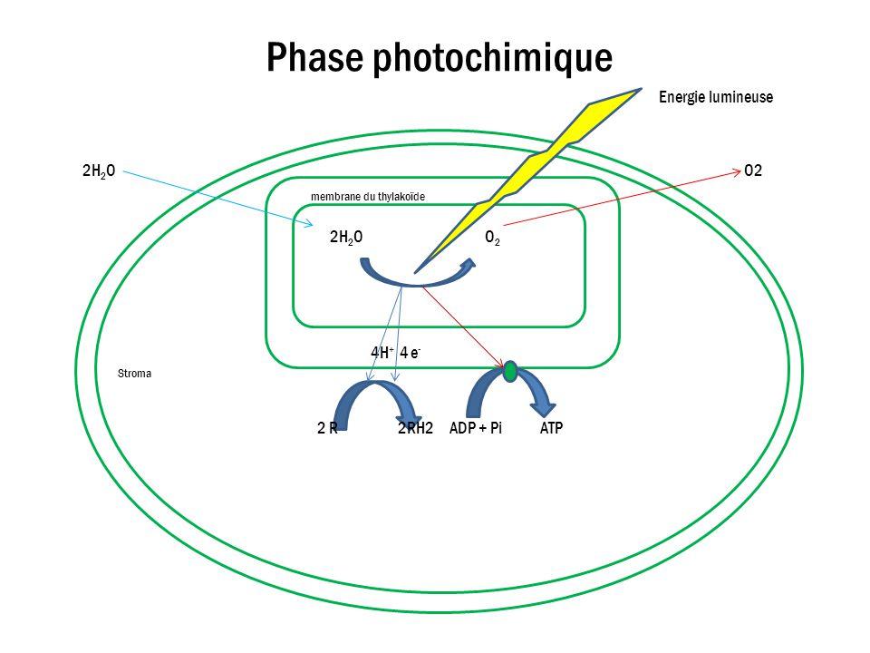 Phase photochimique Energie lumineuse 2H 2 O O2 membrane du thylakoïde 2H 2 O O 2 4H + 4 e - Stroma 2 R 2RH2 ADP + Pi ATP