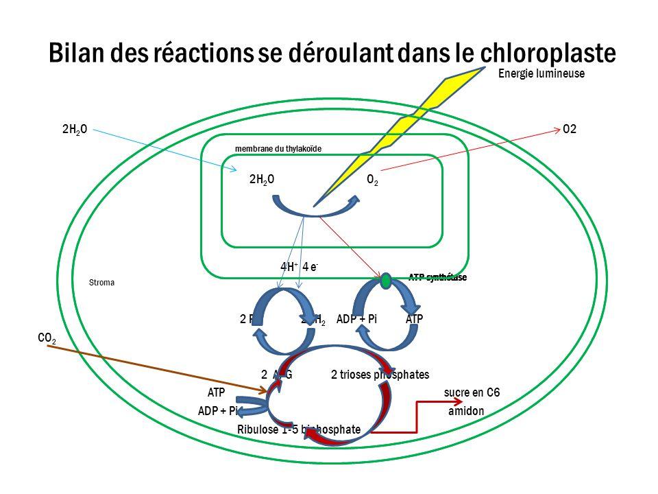 Bilan des réactions se déroulant dans le chloroplaste membrane du thylakoïde ATP synthétase 2 R 2RH 2 ADP + Pi ATP CO 2 2 APG 2 trioses phosphates ATP sucre en C6 ADP + Pi amidon Ribulose 1-5 biphosphate Energie lumineuse 2H 2 O O2 membrane du thylakoïde 2H 2 O O 2 4H + 4 e - Stroma
