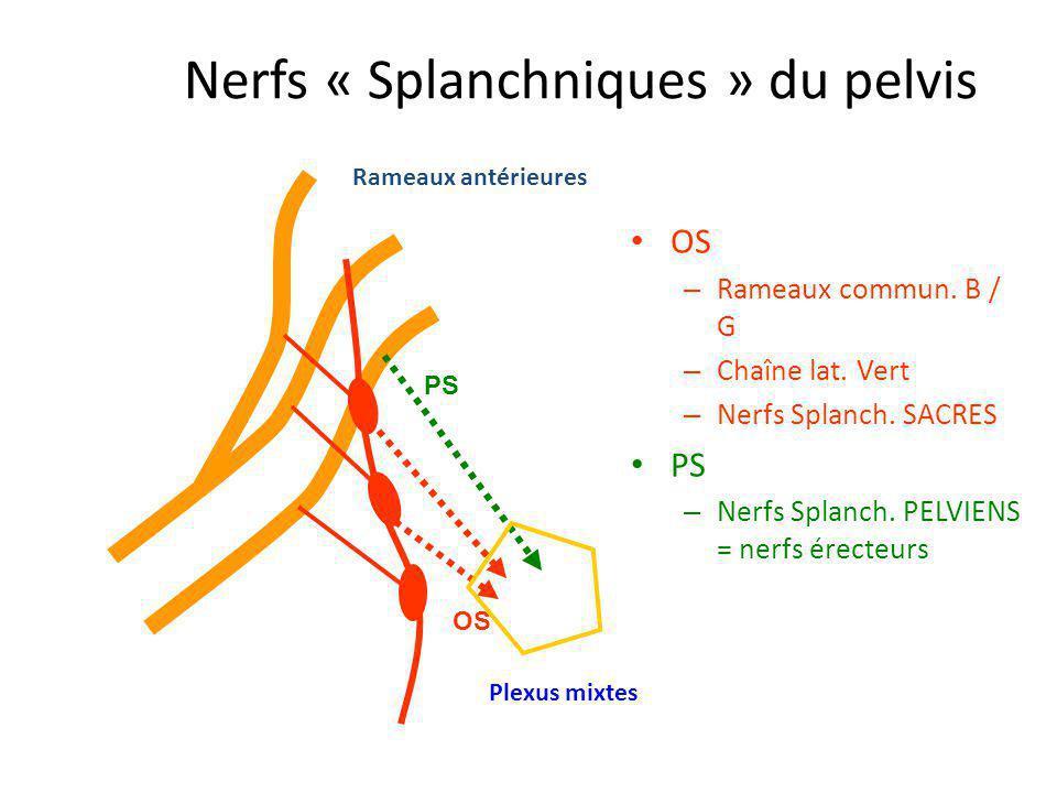 Rameaux antérieures PS OS Nerfs « Splanchniques » du pelvis OS – Rameaux commun. B / G – Chaîne lat. Vert – Nerfs Splanch. SACRES PS – Nerfs Splanch.