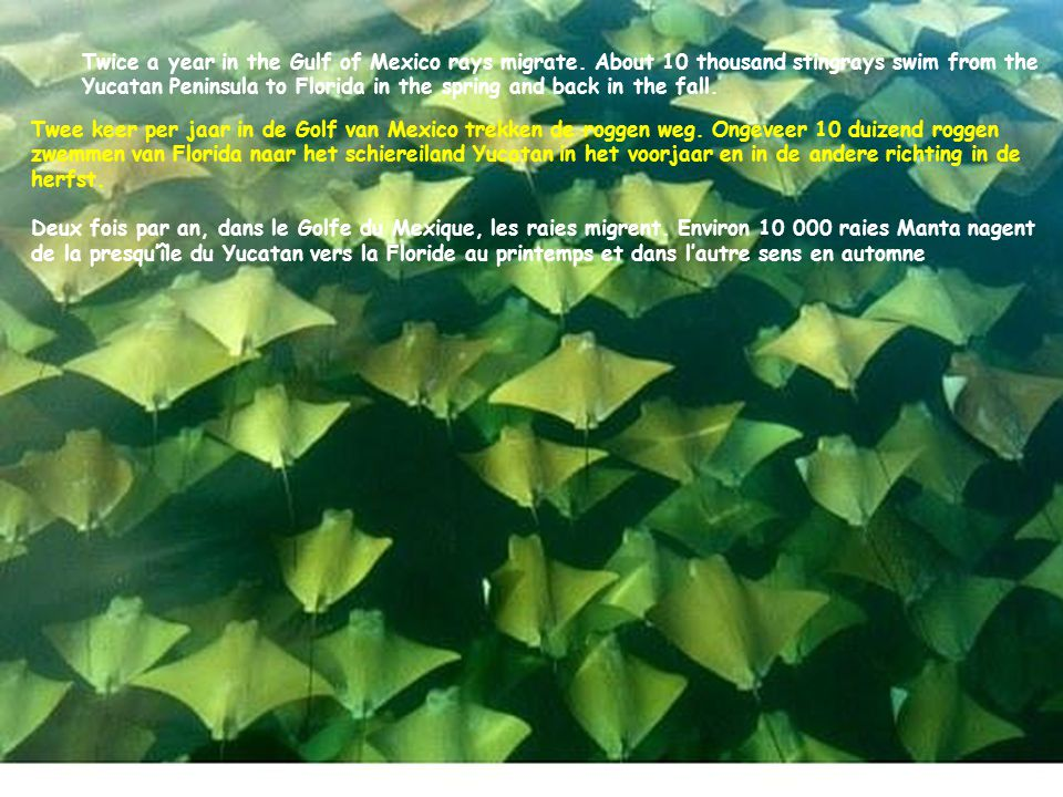 Twice a year in the Gulf of Mexico rays migrate.