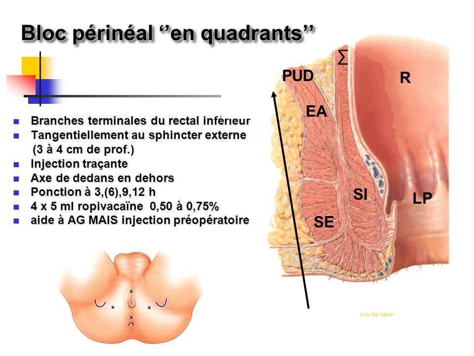 Branches terminales du rectal inférieur Branches terminales du rectal inférieur Tangentiellement au sphincter externe Tangentiellement au sphincter ex