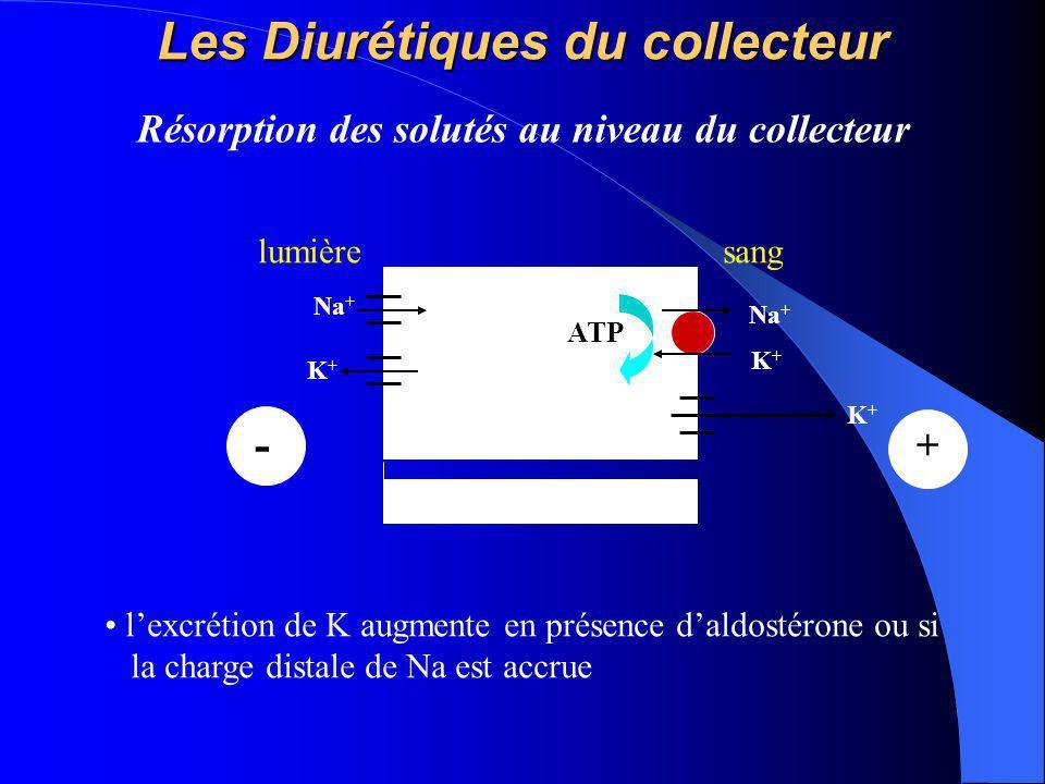 Les Diurétiques du collecteur Na + K+K+ ATP lumièresang K+K+ Na + K+K+ + - Résorption des solutés au niveau du collecteur l'excrétion de K augmente en
