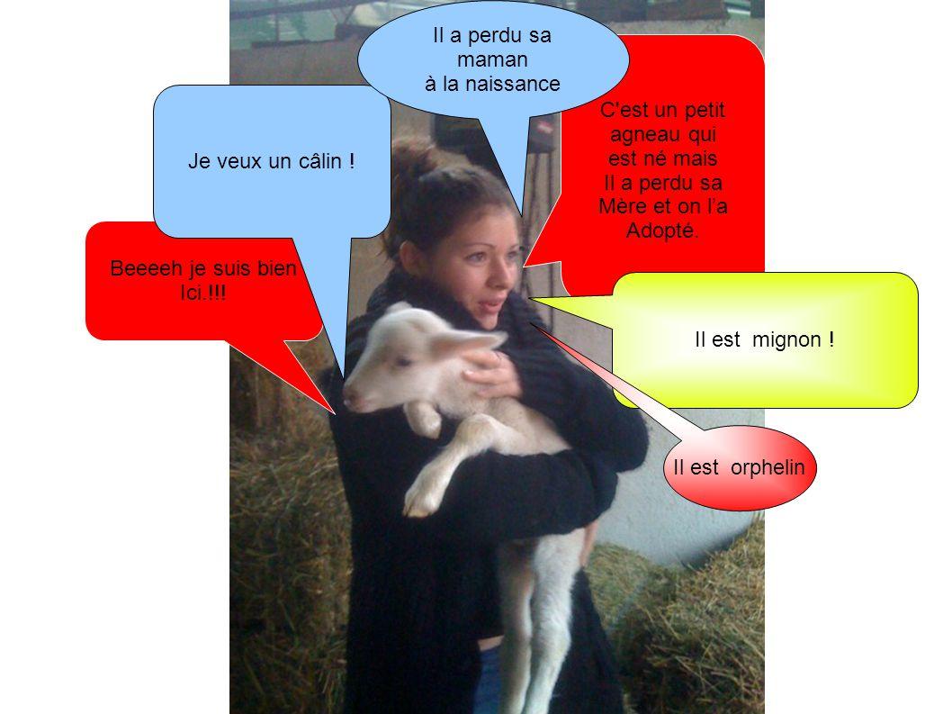 Beeeeh je suis bien Ici.!!! C'est un petit agneau qui est né mais Il a perdu sa Mère et on l'a Adopté. Je veux un câlin ! Il est mignon ! Il a perdu s