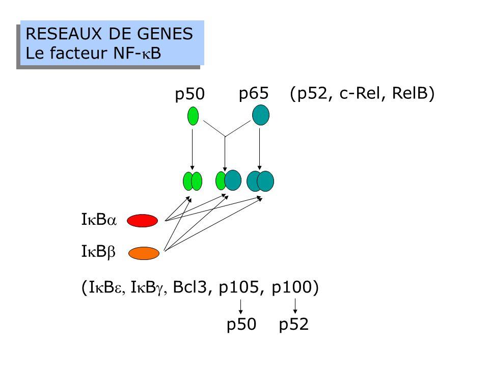 IBIB p50 p65 IBIB (p52, c-Rel, RelB) (IBIBBcl3, p105, p100) p50p52 RESEAUX DE GENES Le facteur NF-B RESEAUX DE GENES Le facteur NF-B