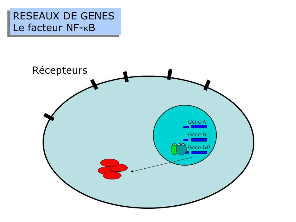 RESEAUX DE GENES Le facteur NF-B RESEAUX DE GENES Le facteur NF-B Récepteurs Gène A Gène B Gène IB