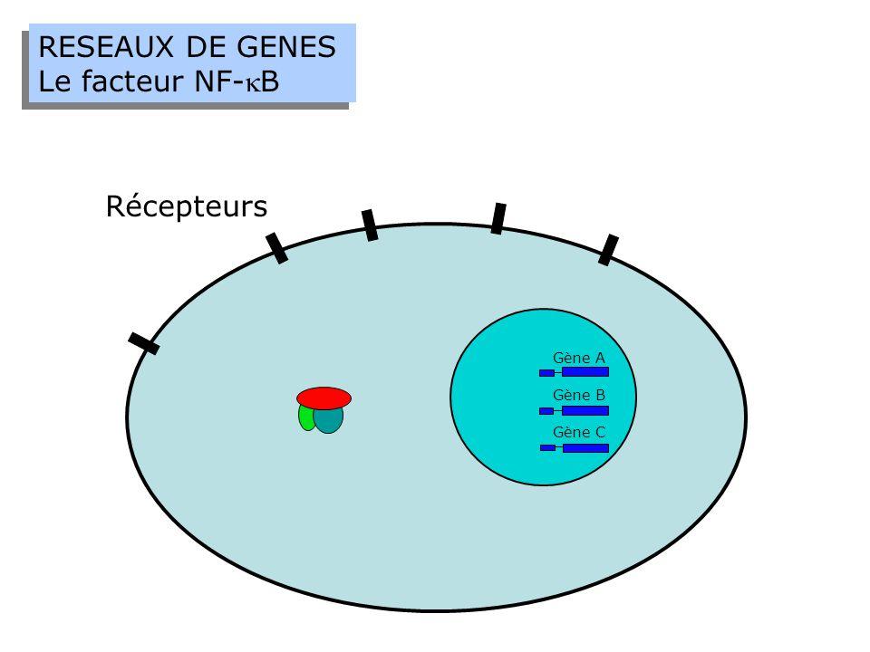 RESEAUX DE GENES Le facteur NF-B RESEAUX DE GENES Le facteur NF-B Récepteurs Gène A Gène B Gène C