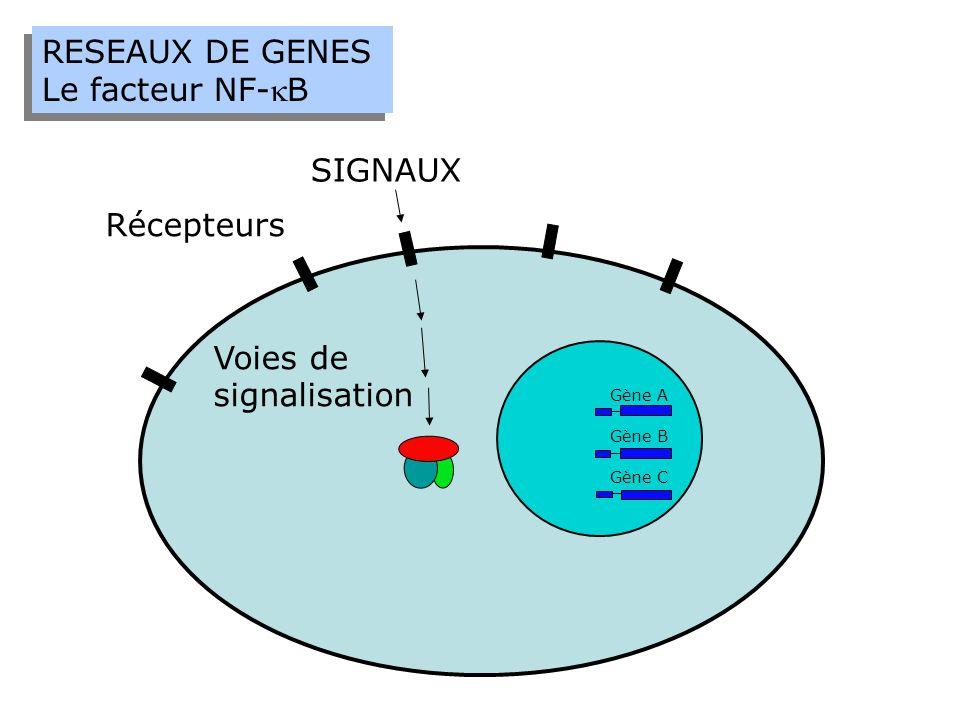 RESEAUX DE GENES Le facteur NF-B RESEAUX DE GENES Le facteur NF-B SIGNAUX Récepteurs Voies de signalisation Gène A Gène B Gène C