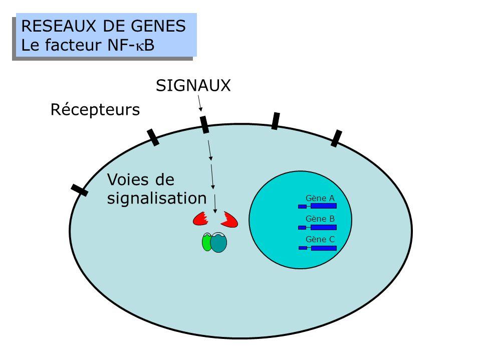RESEAUX DE GENES Le facteur NF-B RESEAUX DE GENES Le facteur NF-B SIGNAUX Récepteurs Gène A Gène B Gène C Voies de signalisation