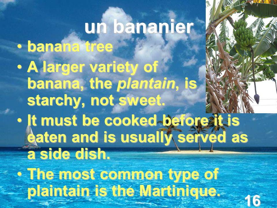 16 un bananier banana treebanana tree A larger variety of banana, the plantain, is starchy, not sweet.A larger variety of banana, the plantain, is starchy, not sweet.