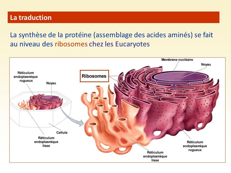 La traduction La synthèse de la protéine (assemblage des acides aminés) se fait au niveau des ribosomes chez les Eucaryotes