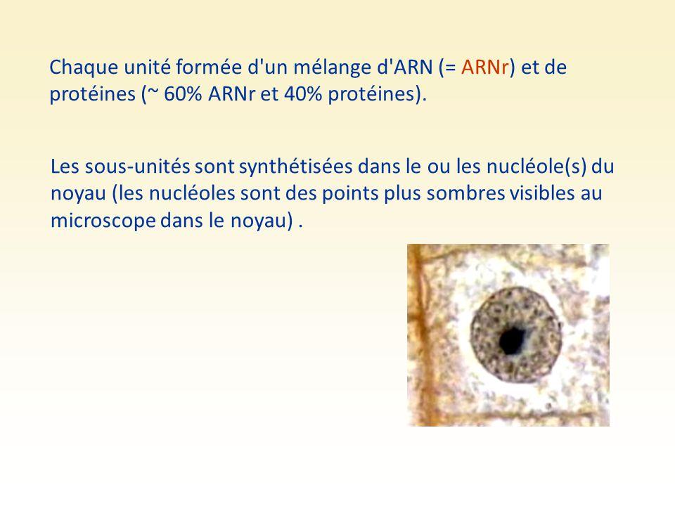 Chaque unité formée d'un mélange d'ARN (= ARNr) et de protéines (~ 60% ARNr et 40% protéines). Les sous-unités sont synthétisées dans le ou les nucléo