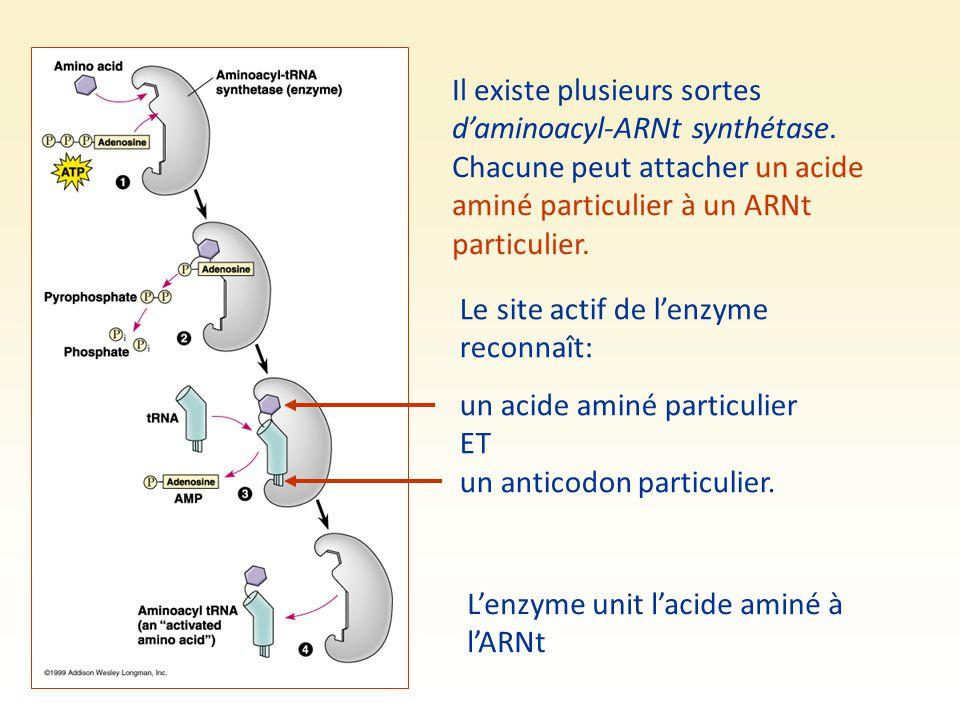 Il existe plusieurs sortes d'aminoacyl-ARNt synthétase. Chacune peut attacher un acide aminé particulier à un ARNt particulier. Le site actif de l'enz