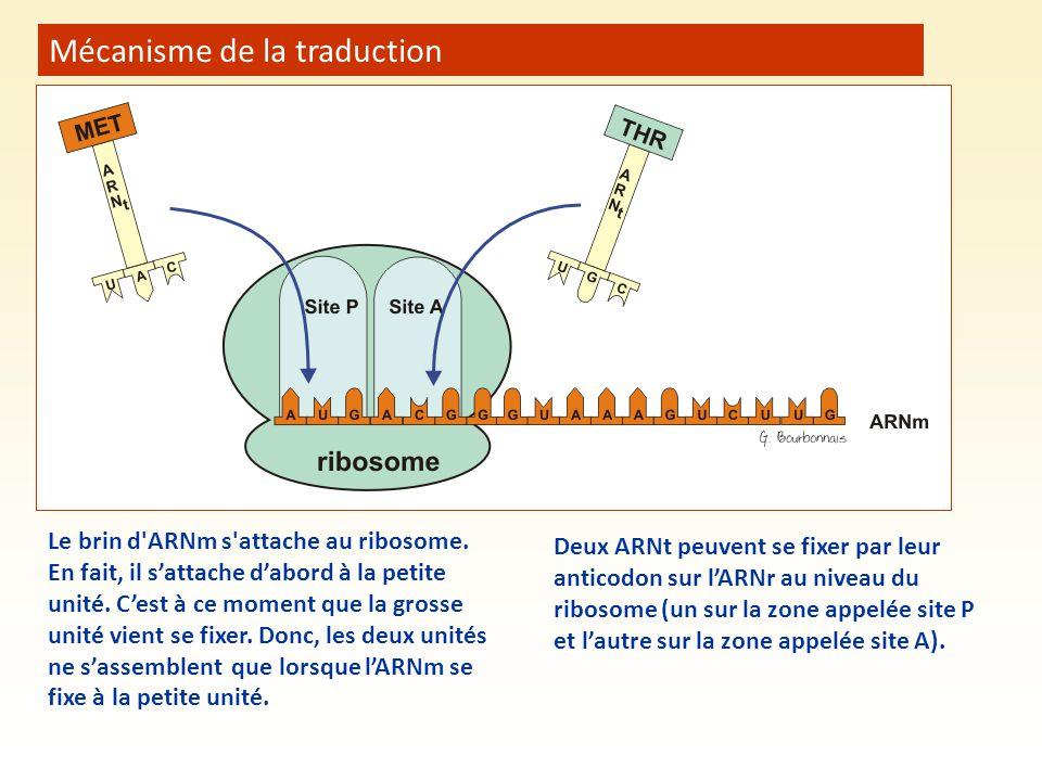 Mécanisme de la traduction Le brin d'ARNm s'attache au ribosome. En fait, il s'attache d'abord à la petite unité. C'est à ce moment que la grosse unit
