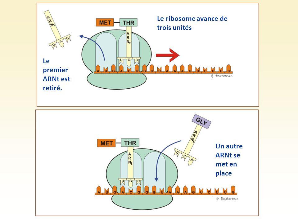 Un autre ARNt se met en place Le ribosome avance de trois unités Le premier ARNt est retiré.
