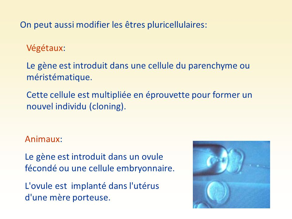 On peut aussi modifier les êtres pluricellulaires: Végétaux: Le gène est introduit dans une cellule du parenchyme ou méristématique. Cette cellule est