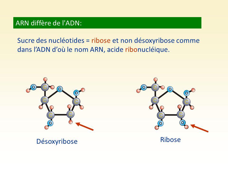 ARN diffère de l'ADN: Sucre des nucléotides = ribose et non désoxyribose comme dans l'ADN d'où le nom ARN, acide ribonucléique. Désoxyribose Ribose