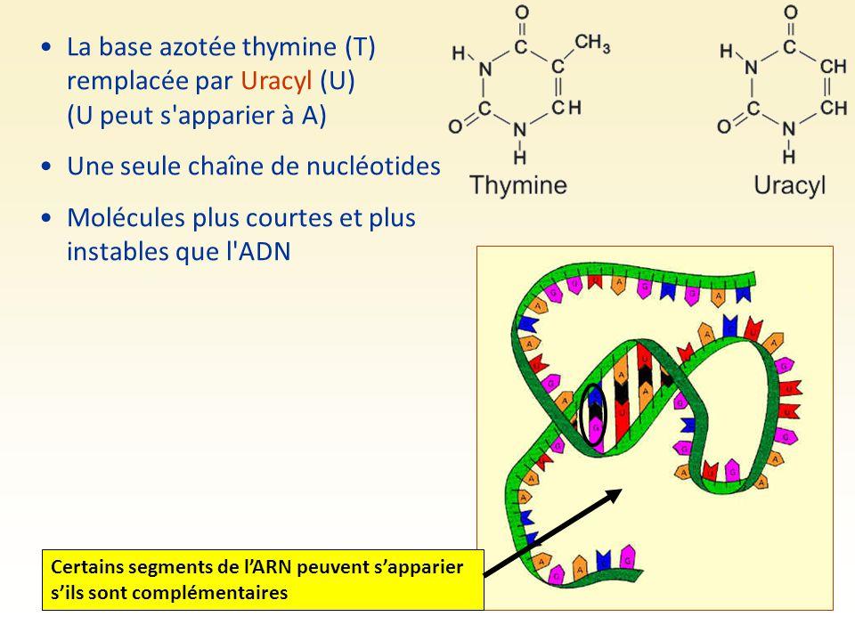 La base azotée thymine (T) remplacée par Uracyl (U) (U peut s'apparier à A) Une seule chaîne de nucléotides Molécules plus courtes et plus instables q