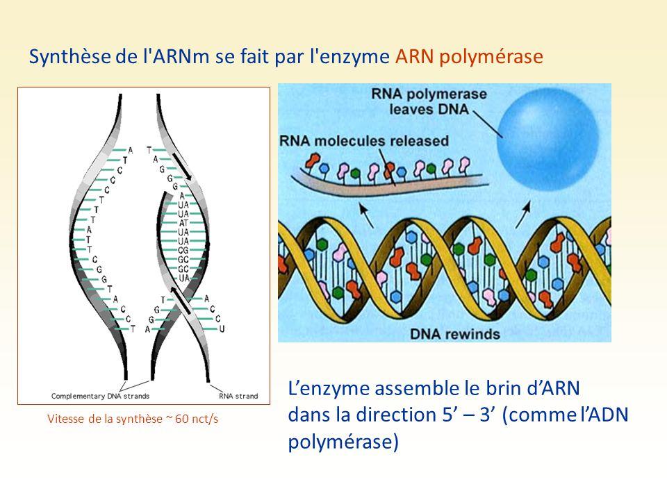 Synthèse de l'ARNm se fait par l'enzyme ARN polymérase L'enzyme assemble le brin d'ARN dans la direction 5' – 3' (comme l'ADN polymérase) Vitesse de l