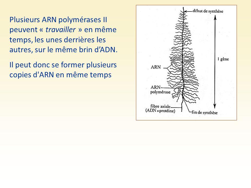 Plusieurs ARN polymérases II peuvent « travailler » en même temps, les unes derrières les autres, sur le même brin d'ADN. Il peut donc se former plusi