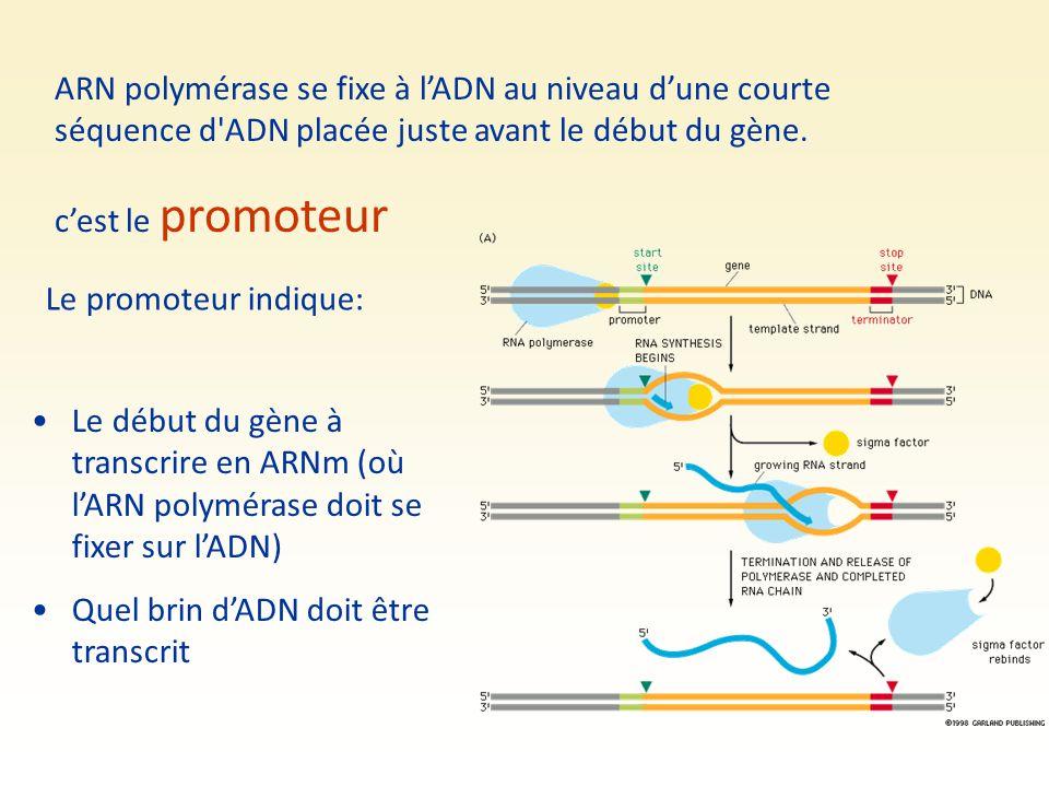 ARN polymérase se fixe à l'ADN au niveau d'une courte séquence d'ADN placée juste avant le début du gène. c'est le promoteur Le promoteur indique: Le