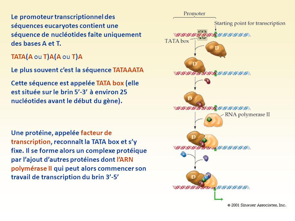 Le promoteur transcriptionnel des séquences eucaryotes contient une séquence de nucléotides faite uniquement des bases A et T. TATA(A ou T)A(A ou T)A
