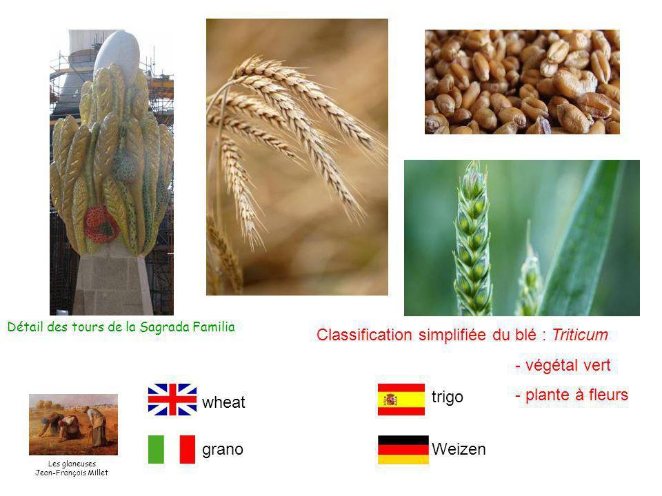 Classification simplifiée du blé : Triticum - végétal vert - plante à fleurs Détail des tours de la Sagrada Familia wheat grano trigo Weizen Les glaneuses Jean-François Millet