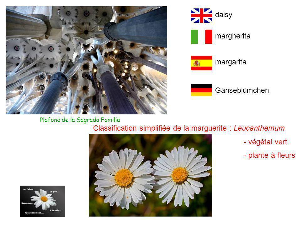 Classification simplifiée de la marguerite : Leucanthemum - végétal vert - plante à fleurs Plafond de la Sagrada Familia Gänseblümchen margarita margherita daisy