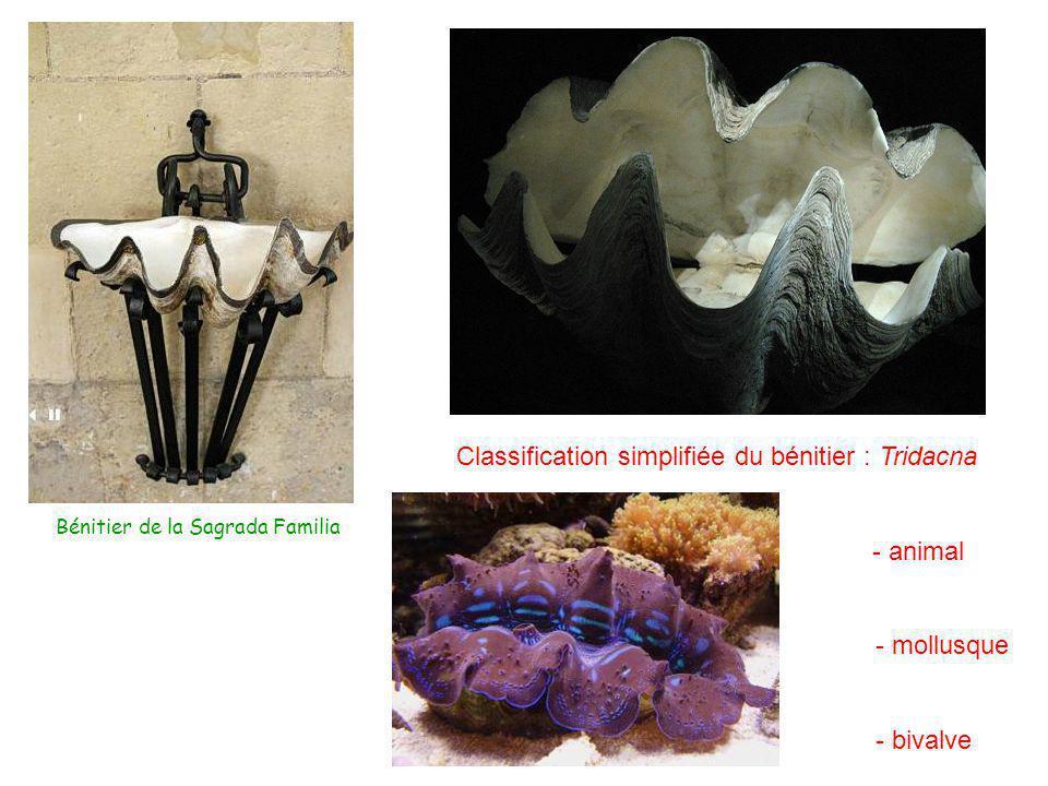Classification simplifiée du bénitier : Tridacna - animal - mollusque - bivalve Bénitier de la Sagrada Familia