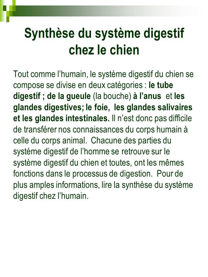 Synthèse du système digestif chez le chien Tout comme l'humain, le système digestif du chien se compose se divise en deux catégories : le tube digesti