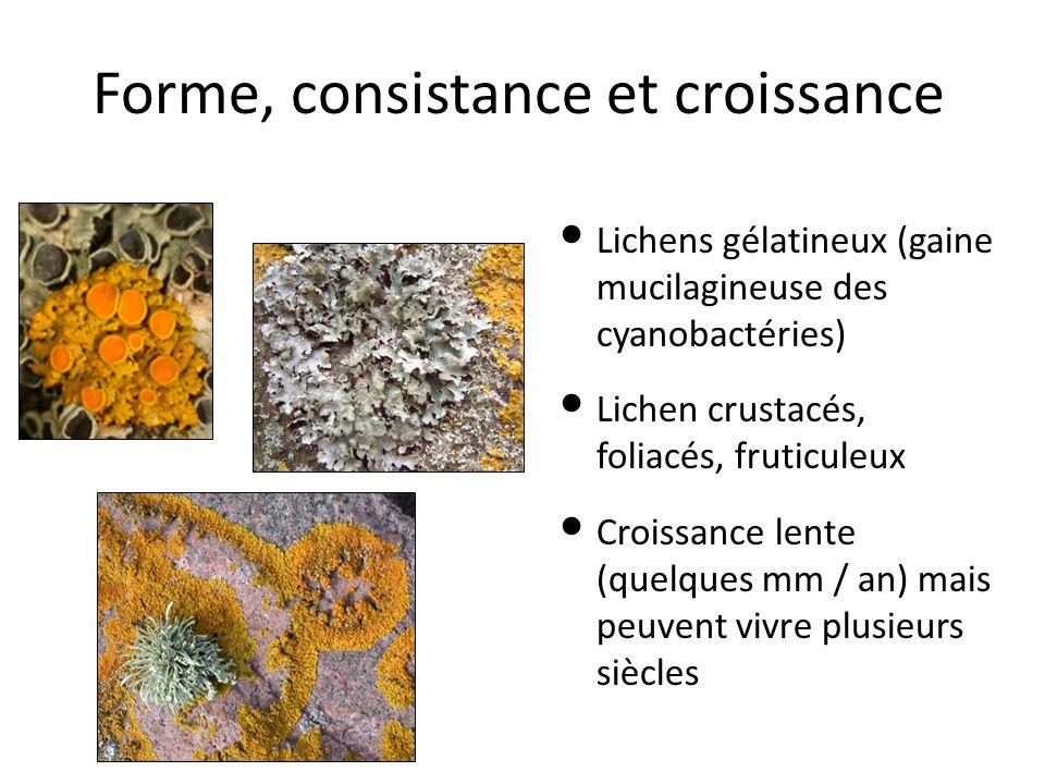 Forme, consistance et croissance Lichens gélatineux (gaine mucilagineuse des cyanobactéries) Lichen crustacés, foliacés, fruticuleux Croissance lente