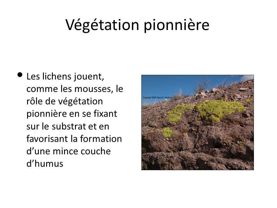 Végétation pionnière Les lichens jouent, comme les mousses, le rôle de végétation pionnière en se fixant sur le substrat et en favorisant la formation