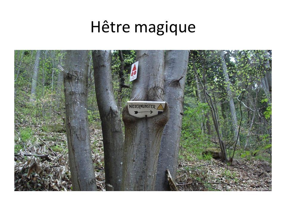 Hêtre magique