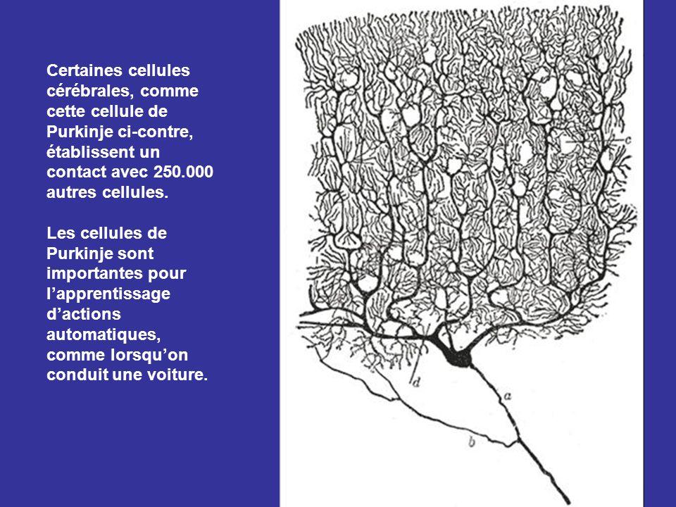 Notre cerveau est composé de 100 milliards de cellules cérébrales qui sont reliées chacune en moyenne à des milliers d'autres cellules.