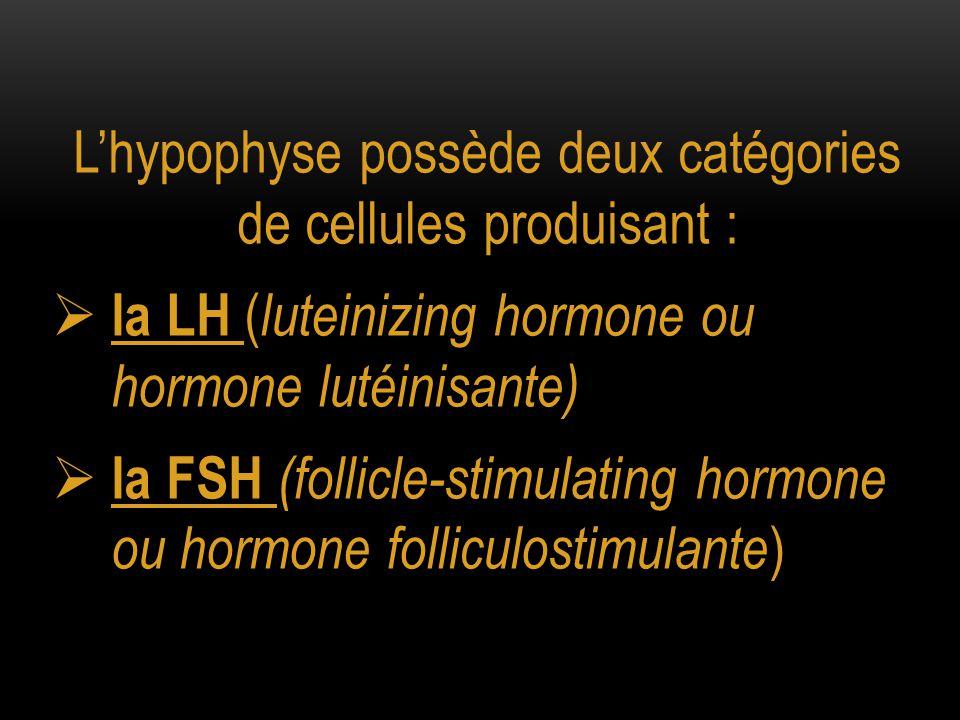 L'hypophyse possède deux catégories de cellules produisant :  la LH ( luteinizing hormone ou hormone lutéinisante)  la FSH (follicle-stimulating hor