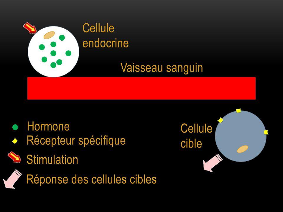 Cellule endocrine Cellule cible Vaisseau sanguin Hormone Récepteur spécifique Stimulation Réponse des cellules cibles