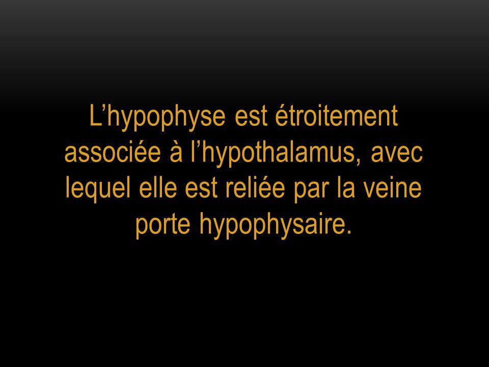 L'hypophyse est étroitement associée à l'hypothalamus, avec lequel elle est reliée par la veine porte hypophysaire.