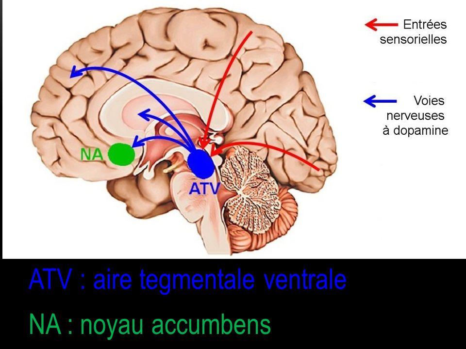 ATV : aire tegmentale ventrale NA : noyau accumbens