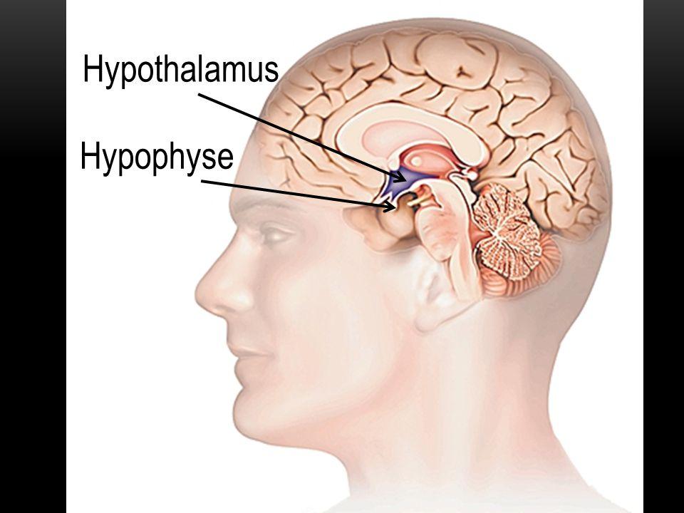 Hypothalamus Ovaire Follicule Utérus Caractères sexuels primaires, secondaires, libido Hypophyse PHASE FOLLICULAIRE J1 à J11 PHASE FOLLICULAIRE J12 Ovaire Follicule Utérus Caractères sexuels primaires, secondaires, libido Hypothalamus Hypophyse Ovaire Utérus Caractères sexuels primaires, secondaires, libido GnRH ⊕ Hypothalamus Hypophyse Corps jaune FSH LH ⊕ Œstrogènes ⊕ ⊕ ⊖