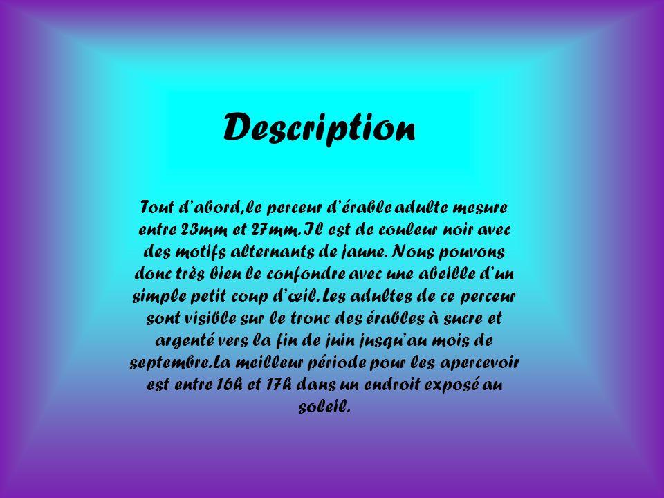 Description Tout d'abord, le perceur d'érable adulte mesure entre 23mm et 27mm.