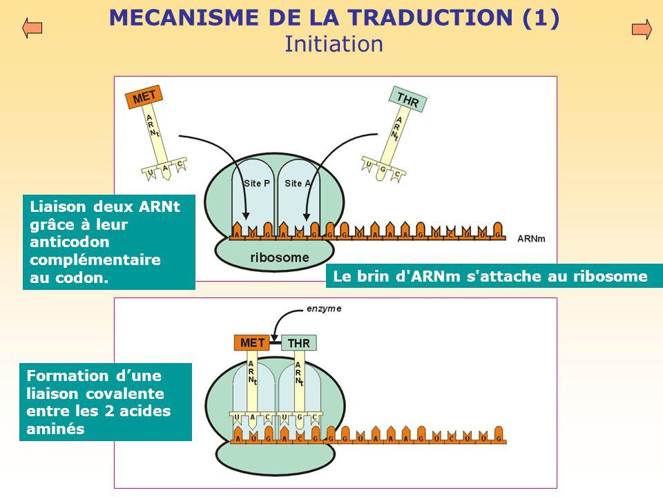 MECANISME DE LA TRADUCTION (1) Initiation Le brin d ARNm s attache au ribosome Liaison deux ARNt grâce à leur anticodon complémentaire au codon.