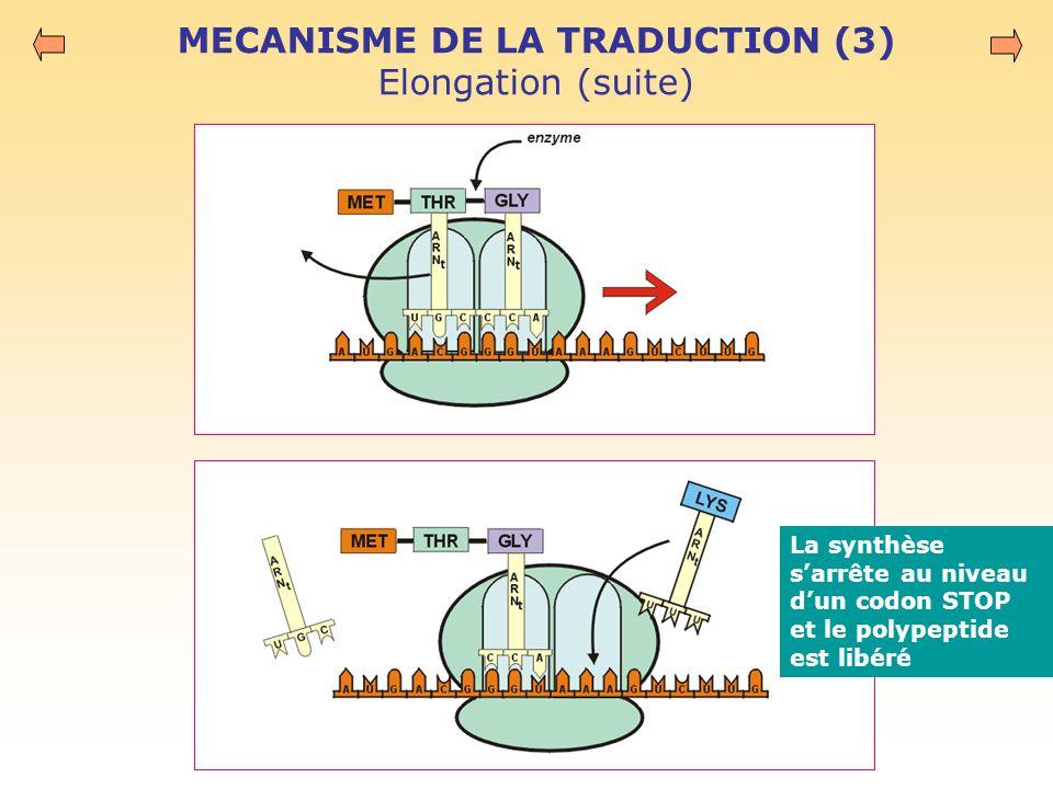MECANISME DE LA TRADUCTION (3) Elongation (suite) La synthèse s'arrête au niveau d'un codon STOP et le polypeptide est libéré
