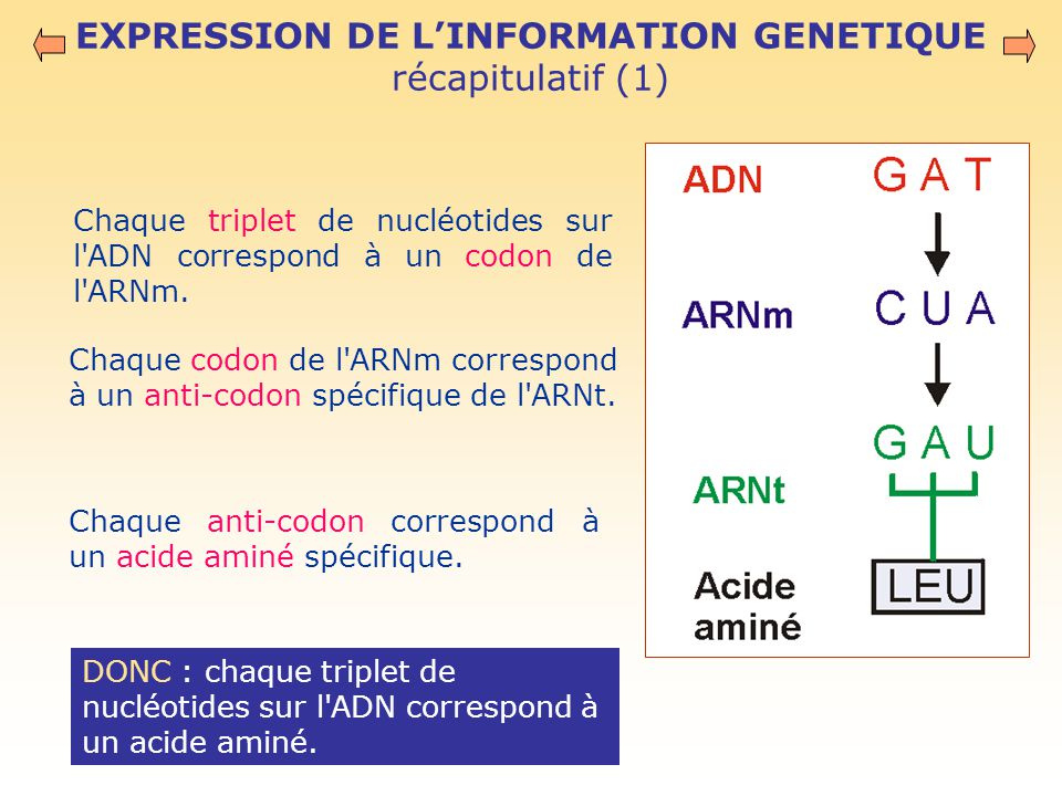 EXPRESSION DE L'INFORMATION GENETIQUE récapitulatif (1) Chaque triplet de nucléotides sur l ADN correspond à un codon de l ARNm.