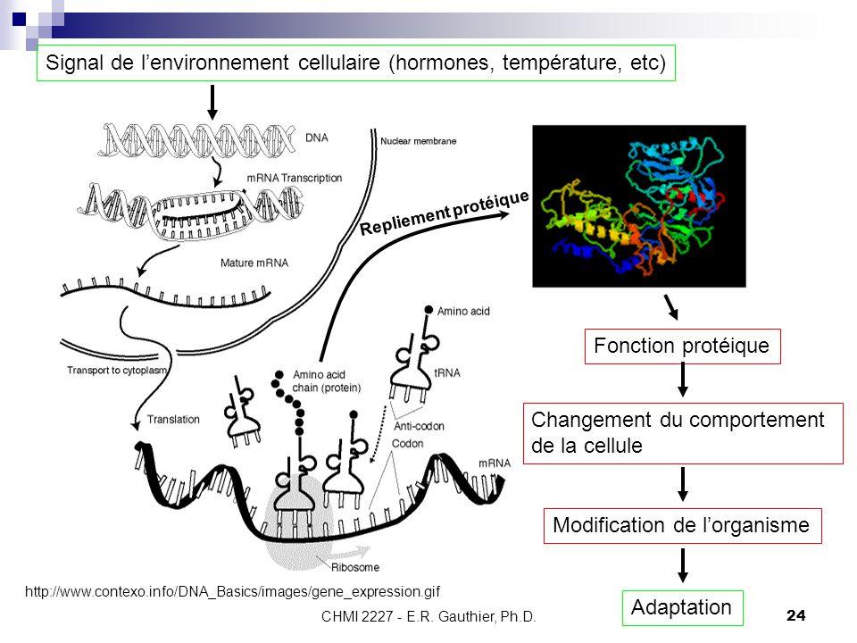 CHMI 2227 - E.R. Gauthier, Ph.D.24 Repliement protéique Changement du comportement de la cellule Modification de l'organisme Adaptation Signal de l'en