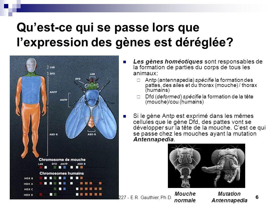 CHMI 2227 - E.R. Gauthier, Ph.D.6 Qu'est-ce qui se passe lors que l'expression des gènes est déréglée? Les gènes homéotiques sont responsables de la f