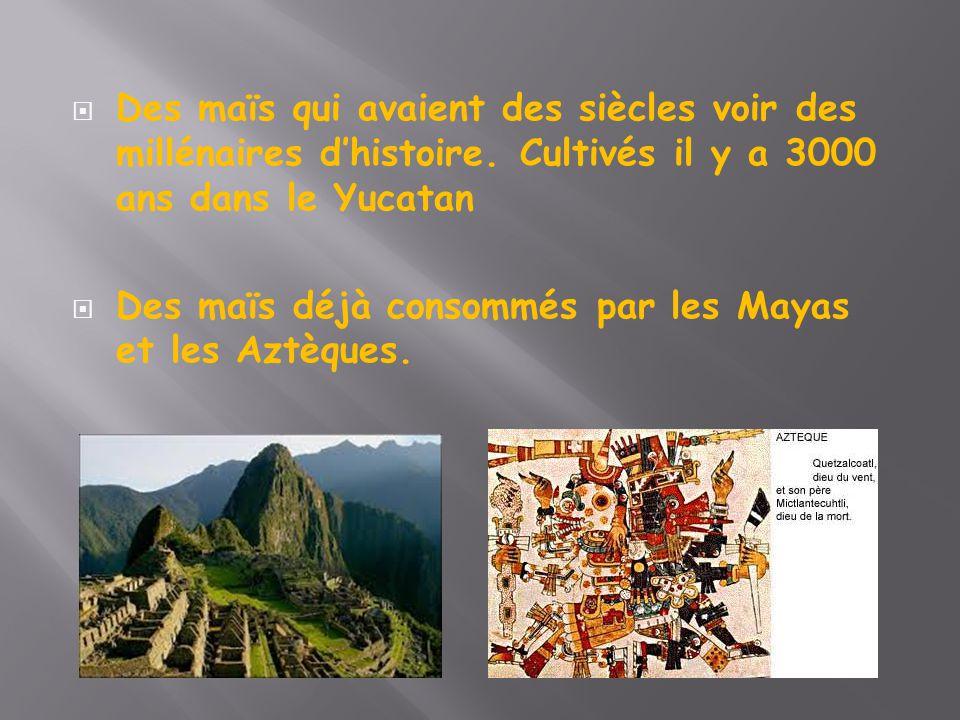  Des maïs qui avaient des siècles voir des millénaires d'histoire. Cultivés il y a 3000 ans dans le Yucatan  Des maïs déjà consommés par les Mayas e