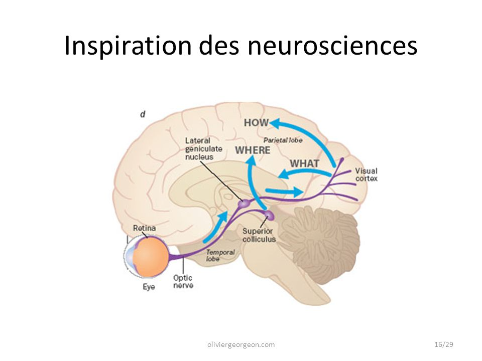 Inspiration des neurosciences oliviergeorgeon.com16/29