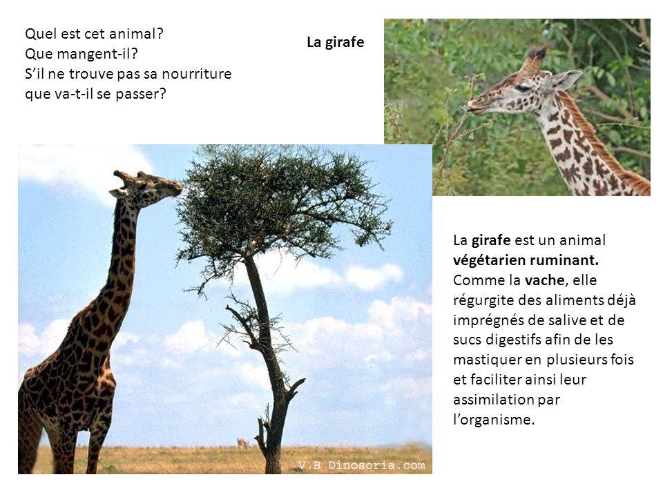 La girafe est un animal végétarien ruminant. Comme la vache, elle régurgite des aliments déjà imprégnés de salive et de sucs digestifs afin de les mas