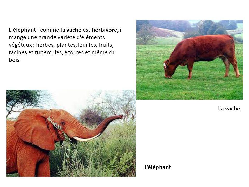 L éléphant, comme la vache est herbivore, il mange une grande variété d éléments végétaux : herbes, plantes, feuilles, fruits, racines et tubercules, écorces et même du bois L'éléphant La vache